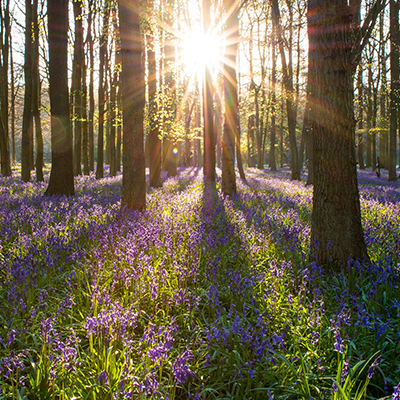 woods with a bed of blue bells
